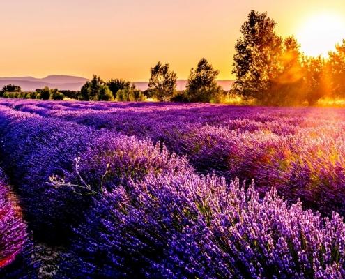 France flower field in the sun